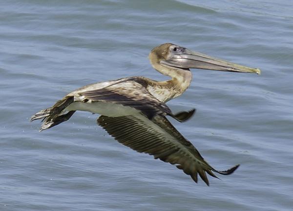 brown pelican by jimlad