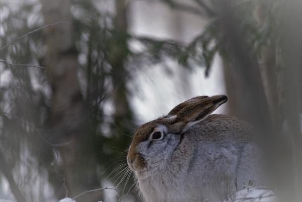 wild hare by maratsuikka