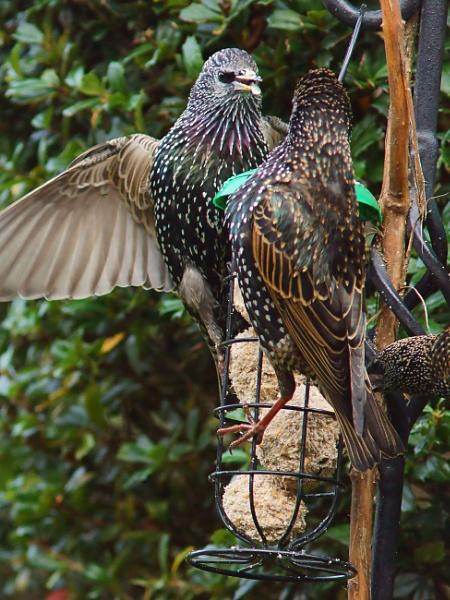 Squabbling Starlings by Ian G W