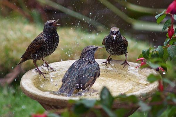 Starlings on a birdbath by Ian G W