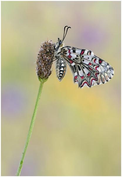 Spanish Festoon - Zerynthia rumina by NigelKiteley