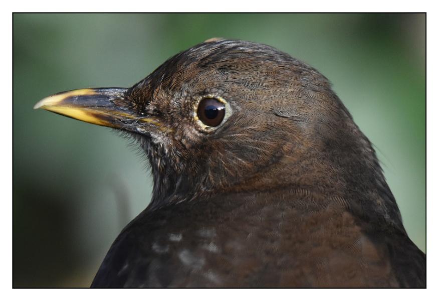 Close up - Blackbird