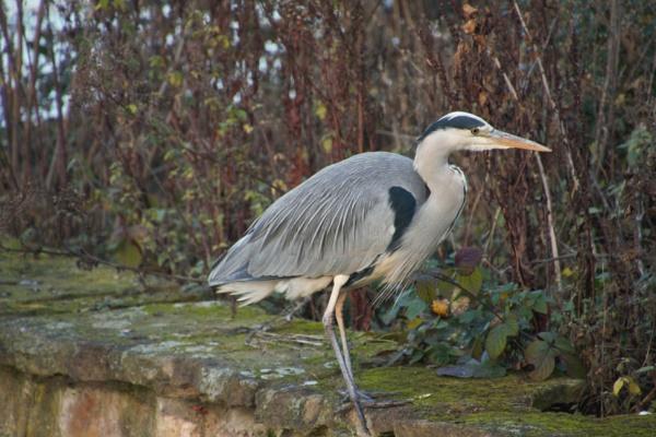 Grey Heron by Canonshots