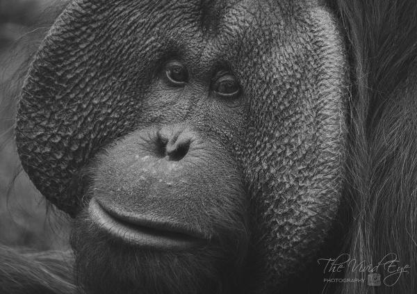 Orangutan by MartinWait
