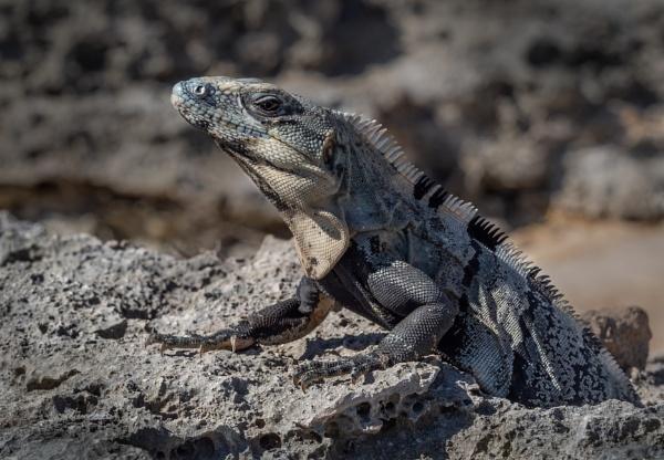 Iguana , Mexico by gill_f