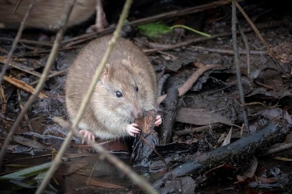 Ratty by pauljt