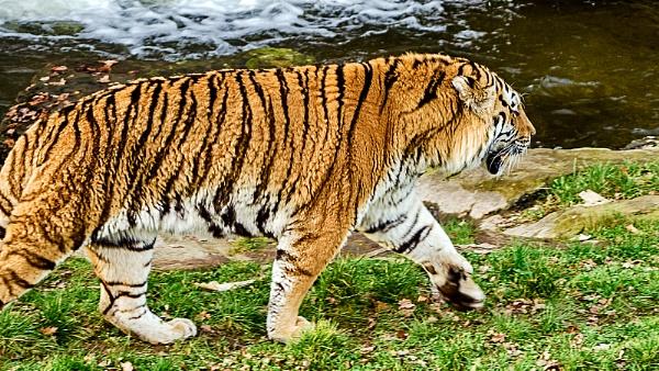 tiger by rocky41