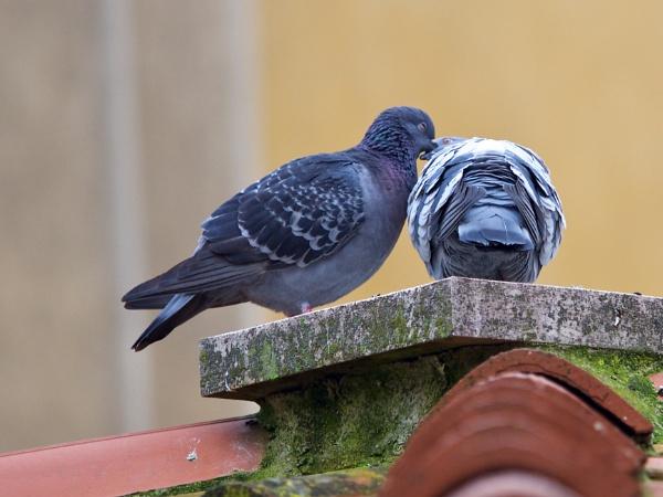 Italian love birds