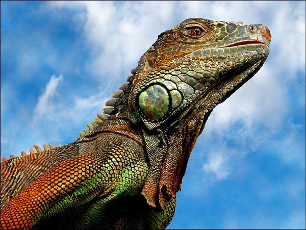 Iguana close up by snapcracklenpop