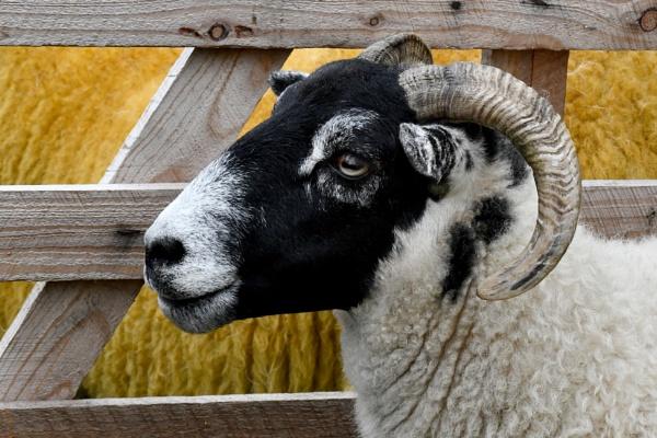 Egton show 2018 - Prize ram sheep by onlythepony