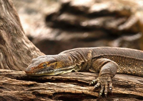 Monitor Lizard by Wireworkzzz