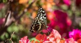 zanzibar butterfly