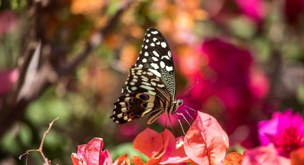 zanzibar butterfly by PBeaumont