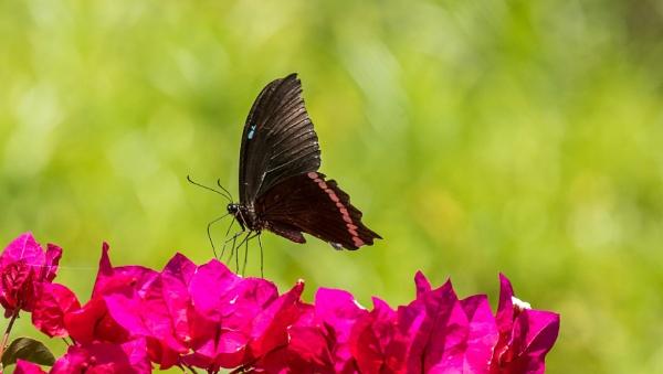 Butterfly Papilio Nireus by PBeaumont