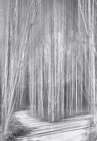 Silver Birches by MAK2