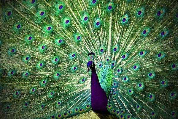 Peacock by Meletis