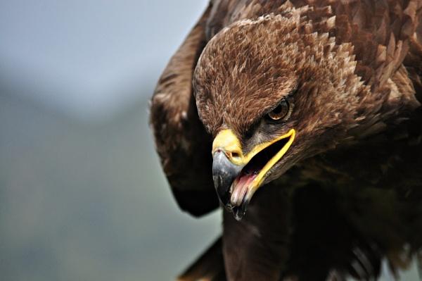 Golden Eagle by lebkuchen