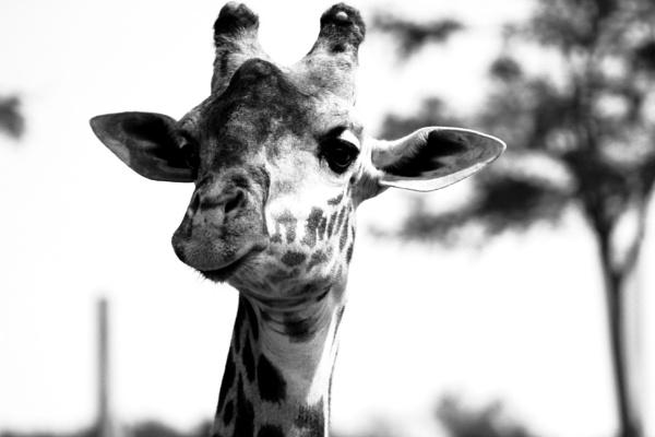 Giraffe (BW) 2 2018 by Mes1