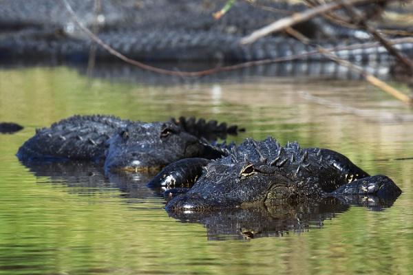 Alligators by BHSDallas