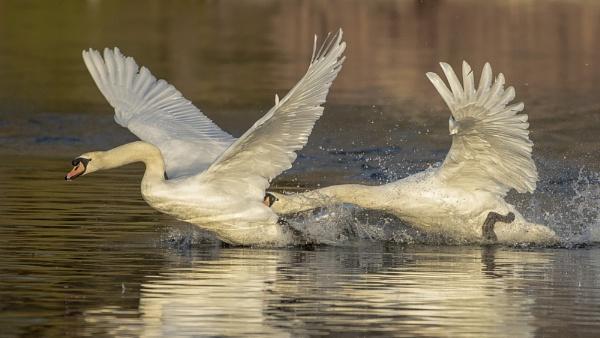 Swans Pecking by chensuriashi