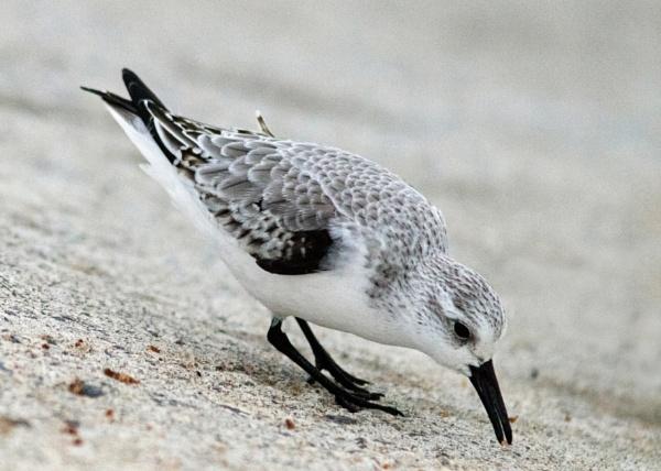 Sanderling by oldgreyheron