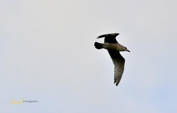 Gull by jb_127