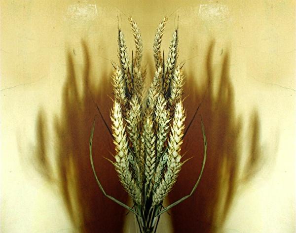 Wheat - 3 by helenlinda