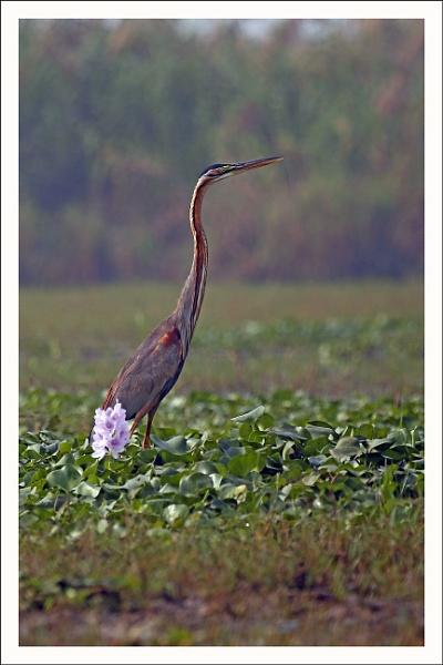 Purple Heron by prabhusinha