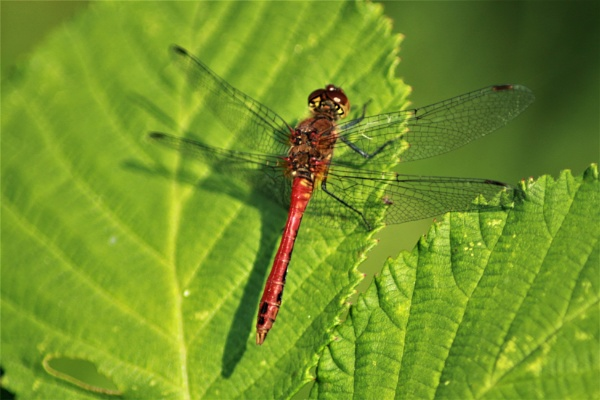 Banded Darter can throw a shadow