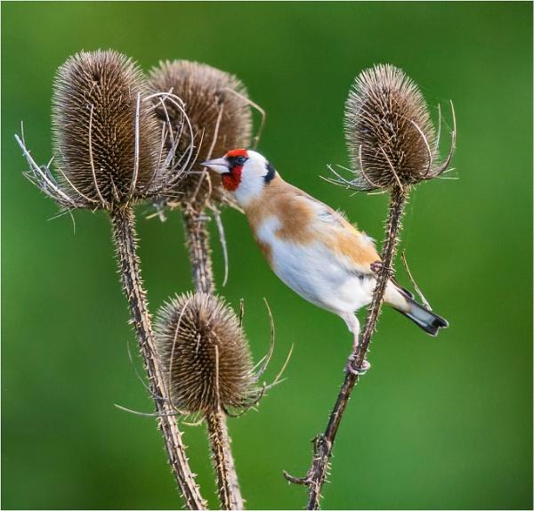 Goldfinch by mjparmy
