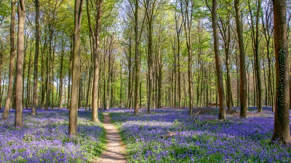 Bluebells in Wepham Wood by Phil_Bird