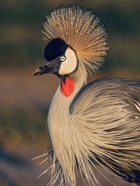 Grey-crowned Crane by Jamie_MacArthur