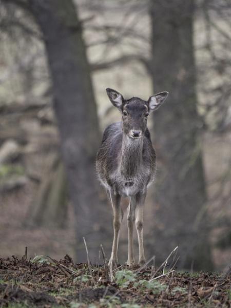 Deer by CraigWalker