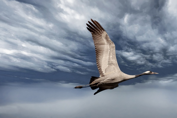 Crane in flight by yos