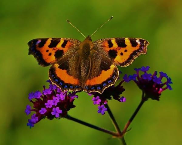 Tortoiseshell Butterfly by georgiepoolie