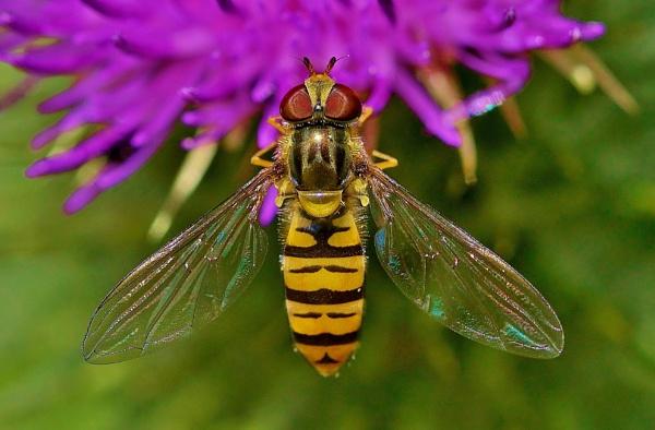 Hoverfly macro on wildflower. by georgiepoolie