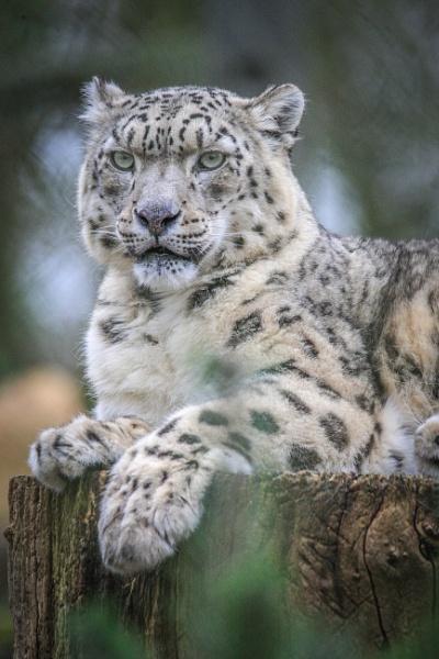 Snow Leopard by jcannon