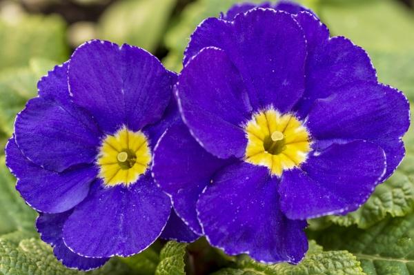 Purple Primula by Alan1297