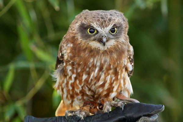 Southern Boobook Owl-Ninox novaeseelandiae. by bobpaige1
