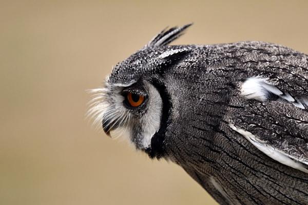 Sideways owl portrait by onlythepony