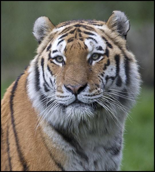 Tiger by rickie
