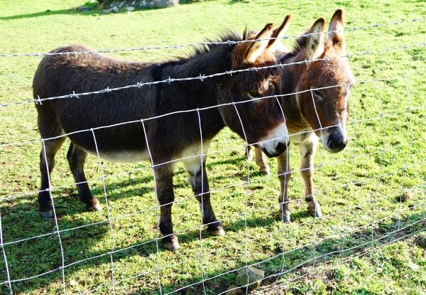 Donkeys by frogs123