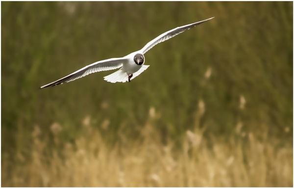 Black Headed Gull by robjames
