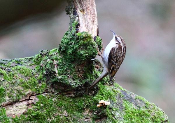 Treecreeper by Philipwatson