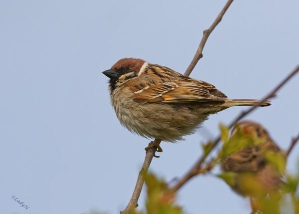 House sparrow or Tree sparrow? by ladynewbury