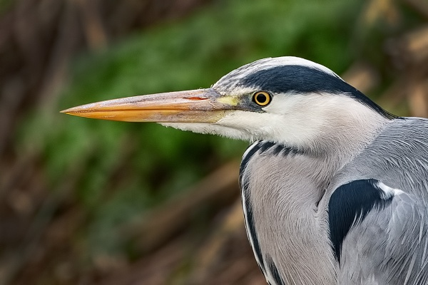 Grey Heron (Ardea cinerea) by DerekL