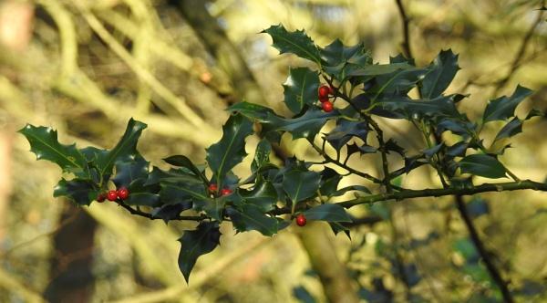 Winter berries by Alan26