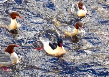 A flurry of Goosander Ducks.