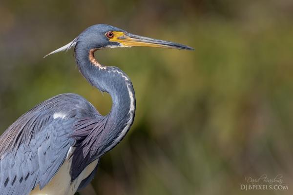 Tri Color Heron Portait by DBoardman