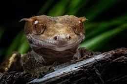 Crested Gecko II
